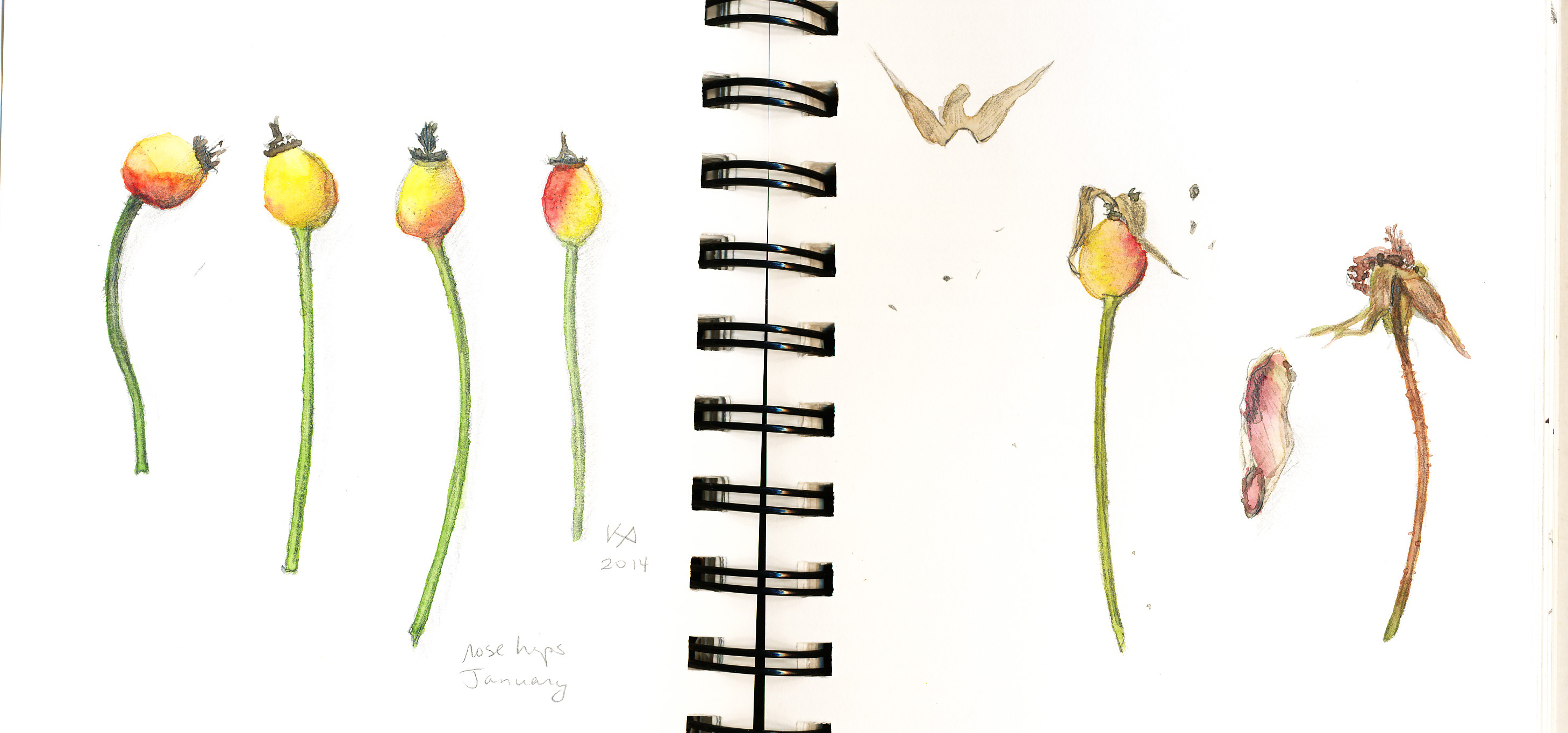 Little studies: rose hips