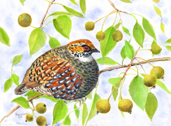 Himalayan hill partridge in a wild pear tree