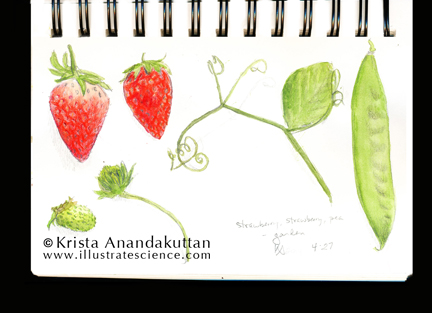 KAnandakuttan_sketchbook_strawberry
